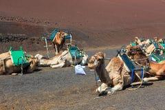Camelos no parque nacional de Timanfaya em Lanzarote imagem de stock
