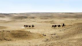 Camelos no platô de Giza, o Cairo, Egipto Imagens de Stock