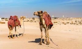 Camelos perto do forte histórico Al Zubara em Catar foto de stock