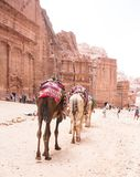 Camelos que andam com PETRA fotos de stock