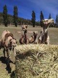 Camelos que comem o feno Fotografia de Stock Royalty Free
