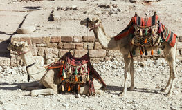 Camelos que esperam os turistas, PETRA Imagens de Stock Royalty Free