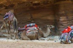 Camelos que têm PETRA do resto, Jordânia Foto de Stock