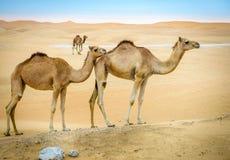 Camelos selvagens no deserto imagens de stock