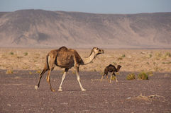 Camelos selvagens nos desertos de Arábia Saudita Foto de Stock