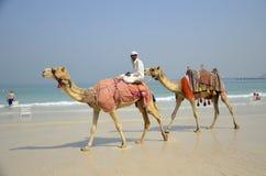 Camelos, turistas, praia, porto de Dubai fotografia de stock