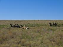 Camelos Two-humped fotografia de stock royalty free