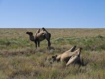 Camelos Two-humped foto de stock