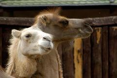 Camels. Two camels Royalty Free Stock Photo