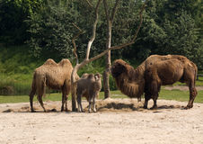 Camels. Three camels, two adult an one young, standing around a tree in the sand Stock Photos
