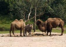 camels Arkivfoton