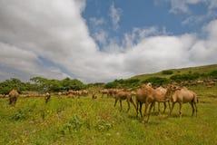 Camels. In Salalah, Oman 2009 royalty free stock photo
