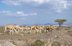 The camels Stock Photos