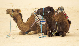 Camels. In Sahara desert, Tunisia Stock Photos