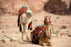 Camels. Two camels in Petra (Al Khazneh), Jordan Stock Photography