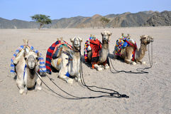 Camels. Ornate camels waiting tourists for a safari in the desert - Egypt Stock Photos