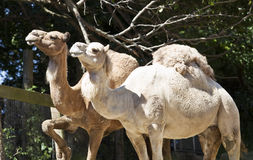 Camels Royalty Free Stock Photos