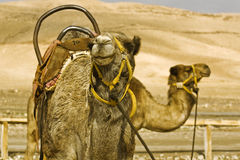 Camels. Yellow dromedary on a background of yellow hills Stock Photos