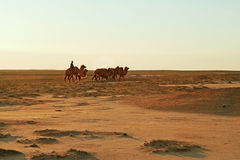 Camels. Stock Photo
