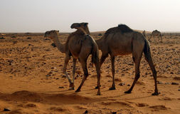 Camels. In the sahara desert in Mauritania royalty free stock photo