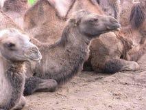 Camels. Resting- zoo-humps-animals Wild -Desert -mammals-nature-captivity -Denmark - Jylland Royalty Free Stock Image
