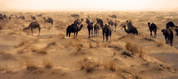 Camels. Group of camels in sahara desert Stock Photos