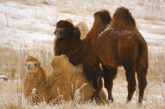 Camels. Couple of camels in the winter on Ush-Konyr plateau Stock Image