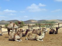 Camels. Herd of camels in desert on a background of mountains Stock Photo
