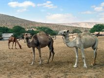 Camels. Herd of camels in desert on a background of mountains Royalty Free Stock Images