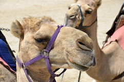 Camels. Royalty Free Stock Photo