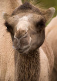 Camels 3. Portrait of a camel, showing neck and head with flies Stock Photo