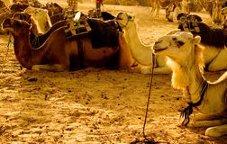 Camels. In the Sahara desert royalty free stock images