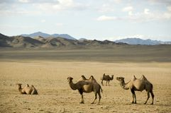 Free Camels Stock Photography - 3709222