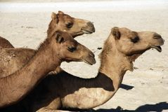 Camels. Resting in the desert, middle east, asia Stock Images