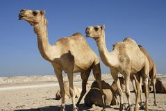 Camels. In the desert, middle east, asia Stock Photography