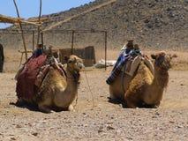 Camels3 Στοκ φωτογραφία με δικαίωμα ελεύθερης χρήσης