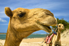 Camels. Two camels sitting on beach with sky background Stock Photography