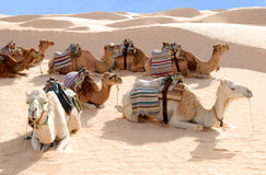 Camels. Resting on sand in Sahara Desert royalty free stock photography