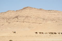 Camels Stock Photography