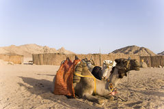 The camels. Two camels have a rest in Bedouin village in Sahara Desert Stock Image