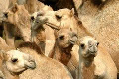 Camels. Herd of camels Stock Image
