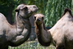 Camels. In love royalty free stock photo