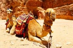 Camels. Two camels near Treasury temple at Petra (Al Khazneh), Jordan Stock Image