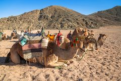 Camels on the african desert. In Egypt Royalty Free Stock Images