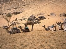 Camels in the African desert in Egypt. Stock Photography