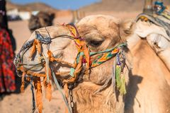 Camels on the african desert Stock Image