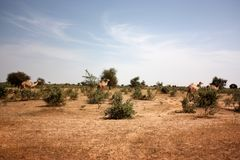 The Camels. On the african landscape Stock Images
