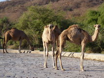 Camels in Ain Garziz, Oman. Morning encounter with camels in Ain Garziz, Salalah, Oman Royalty Free Stock Photography