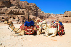 Camels in ancient city of Petra, Jordan. Camels in ancient city of Petra. It was carved out the rocks. It is now an UNESCO World Heritage Site. Petra, Jordan royalty free stock image