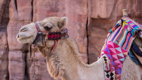 Camels in ancient city of Petra in Jordan Royalty Free Stock Photography